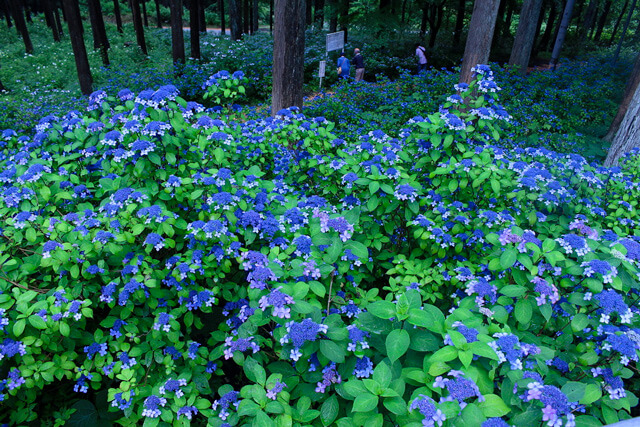 What is Michinoku Hydrangea Festival?