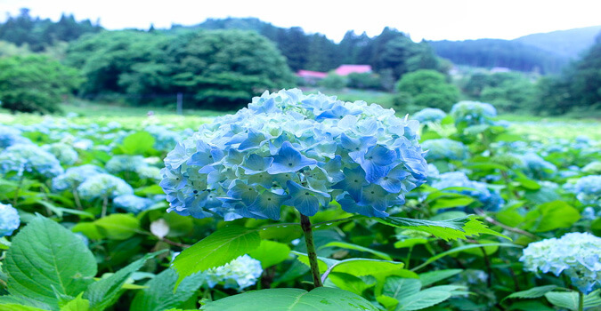 What is Michinoku hydrangea garden? The best hydrangea festival in Japan is held!