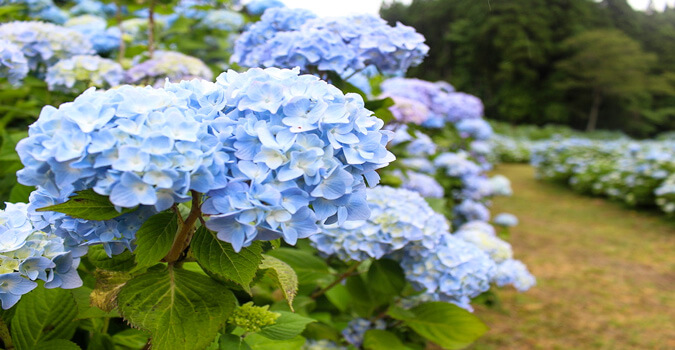 【Kesennuma】What is Akasaka Public Garden? Do you like hydrangea that is the features of rainy season?