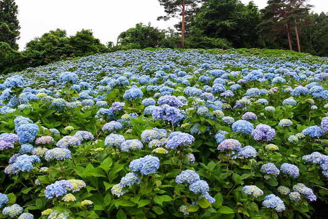Do you like hydrangea that is the features of rainy season?