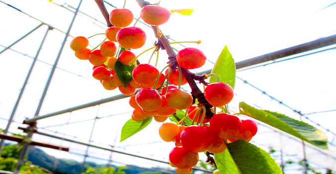 【一関】川崎観光さくらんぼ園とは?5品種の味比べをしながらさくらんぼ狩りを楽しむ!