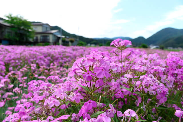 まるでピンク色の絨毯を敷いているかのような美しい光景!