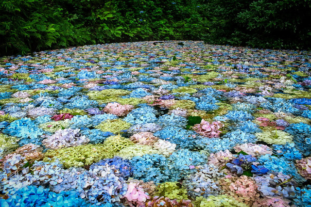 the magnificent view that can only be seen at the end!the Hydrangea Pond decorated with many hydrangeas!