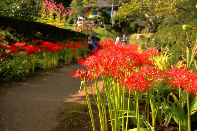 What is Nyoirinji Temple? The bewitching view of about 20,000 cluster amaryllis that dyes the precincts red!
